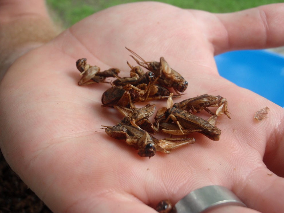 toasted crickets