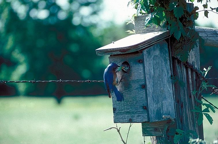 Eastern Bluebird653_2_169