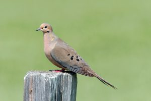 Mourning dove on a fence post.