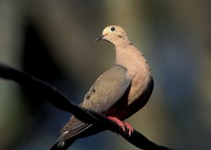 Mourning dove striking a pose.