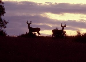 Mule deer at sunset.