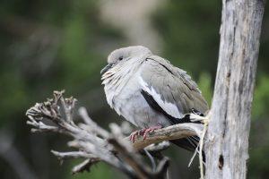 White-winged dove.