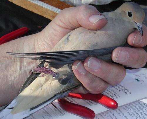 dove_banding_MourningDove2