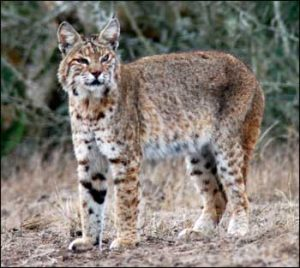 A large and lovely bobcat.