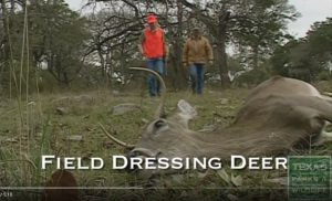 Field dressing deer