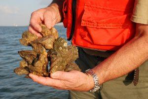Sampling Gulf Oysters