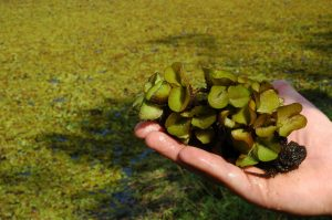A handful of Giant Salvinia.