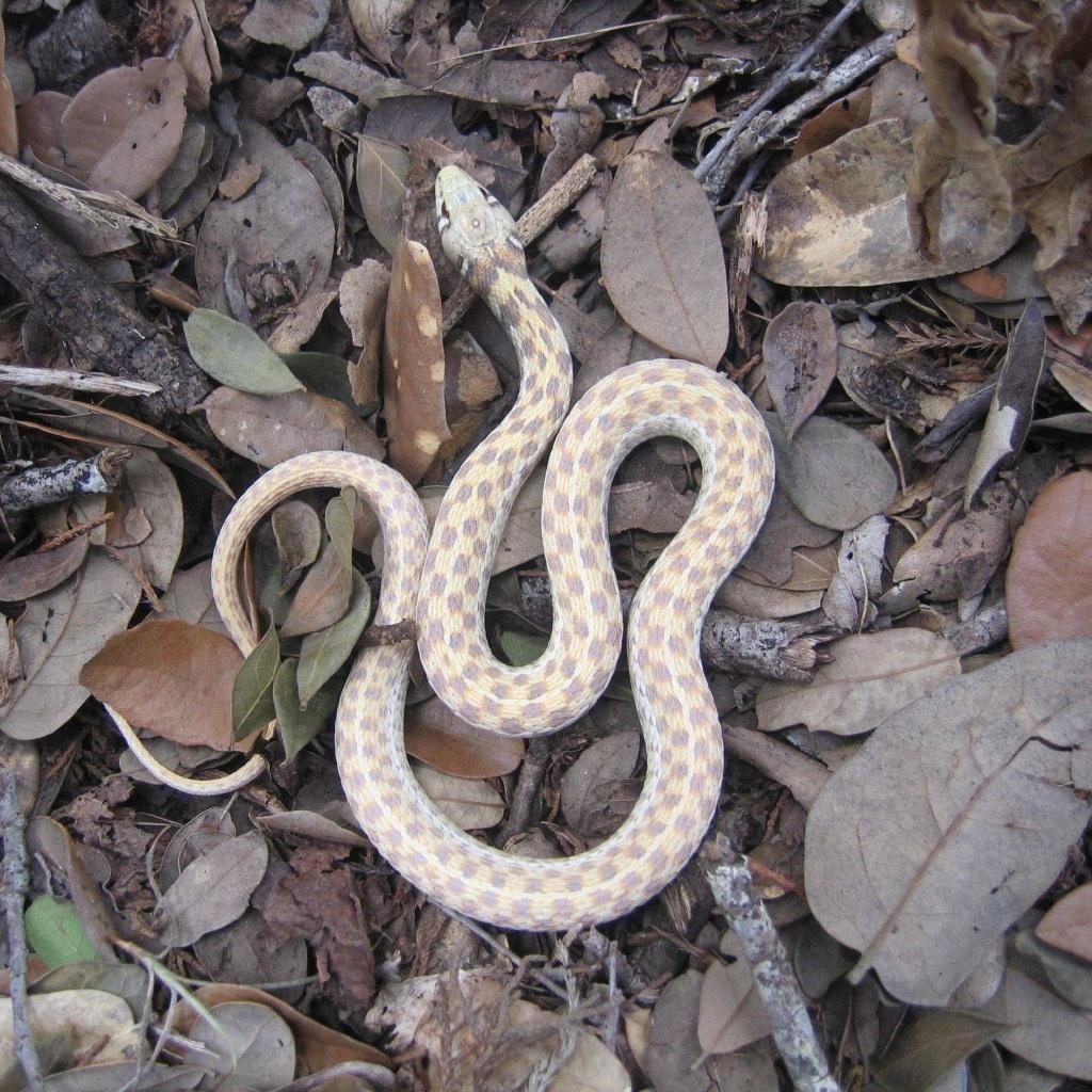 Albino Garter Snake