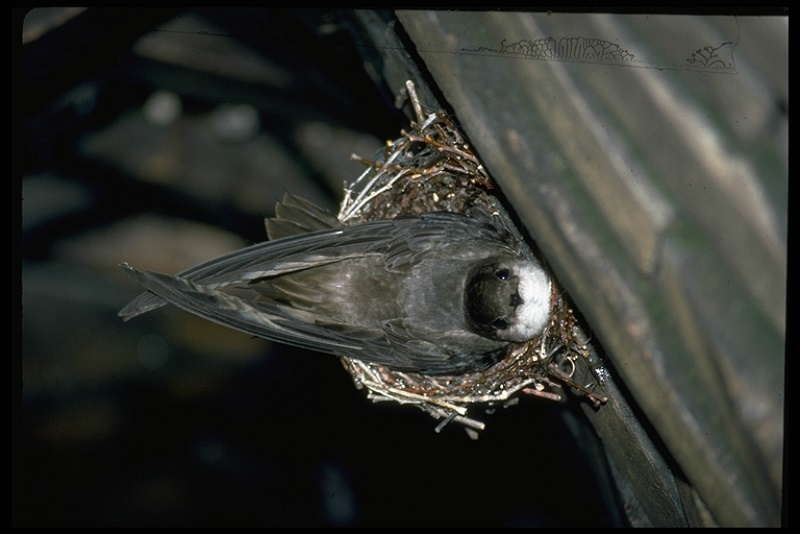 Nesting chimney swift.